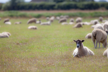 Sheep in a field. Rural agricultural scene of grazing farm animals with copy space