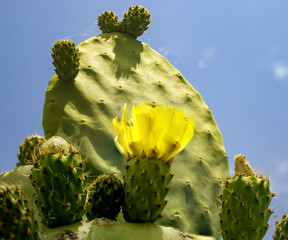 Blossom edible prickly pears (Opuntia ficus-indica) cactus plants, Italy