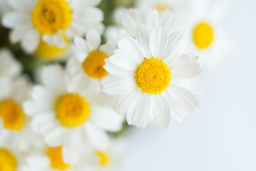 Poster Madeliefjes Chamomile or daisy flowers on white background.