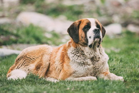 St. Bernard Or St Bernard Dog Sit Outdoor In Green Spring Meadow