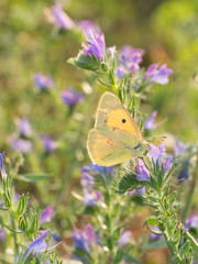 Clouded Yellow butterfly. Colias crocea