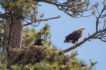 American Bald Eagle (Haliaeetus leucocephalus) adult and eaglet on the nest