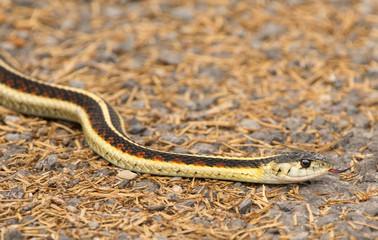 Colorful Garter Snake hunting (Thamnophis sirtalis)