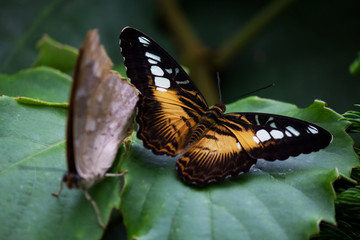 Clipper Butterfly on a leaf