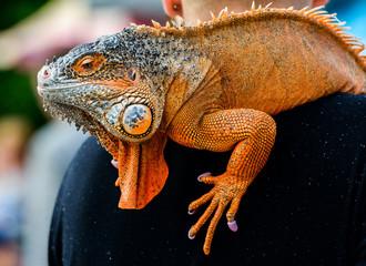 Iguana red, portrait.