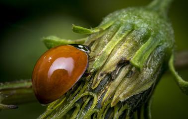 Orange ladybug walking on a flower