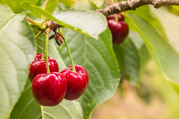 closeup of ripe red cherries and leaves on cherry tree
