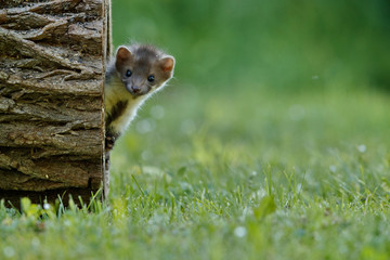 Beautiful and playful beech marten in the jump, forest animal, Martes foina, Stone marten, detail portrait. Small predator with the tree trunk near forest. Young animal, baby. Czech republic, europe. Wall mural