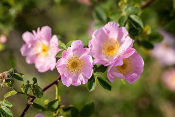 Beautiful blooming wild rose bush (dog rose, Rosa canina)
