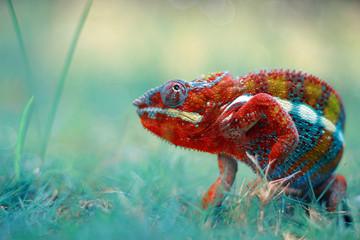 chameleons, chameleon phanter,