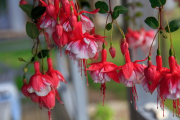 Red-white bells of fuchsia flowers.