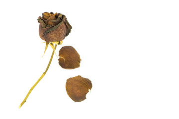 Old dried roses on a white background.