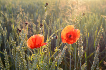 Landscape of red poppies and green wheat.