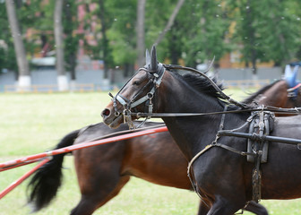 Portrait of a horse trotter breed in training
