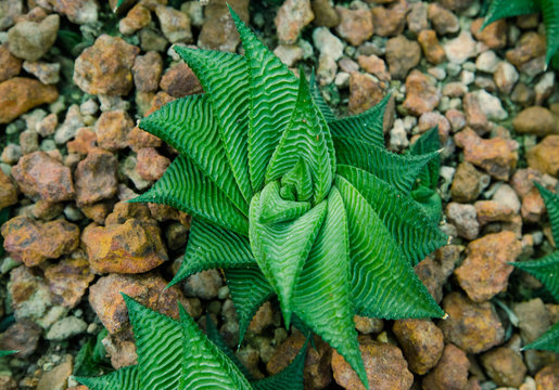 Top view of succulent plant on dirt and rock
