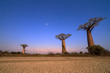 Beautiful moonlit Baobab trees at night in Madagascar with a lot of stars and a cracked clay dry ground