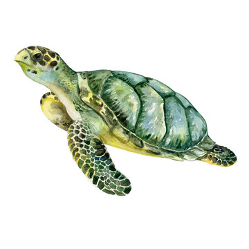 Sea green turtle isolated on white background. Watercolor. Template