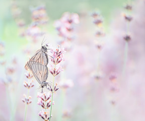 Delicate lavender flowers on a lavender field and two light butterflies close-up. Natural beautiful kind. Soft gentle focus. A gentle love story.
