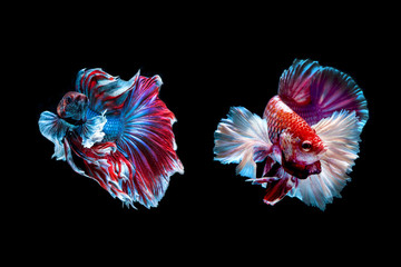 Two Siamese fighting fish isolated on black background
