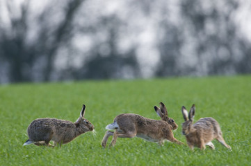 Brown Hares (lepus europaeus) chasing each other