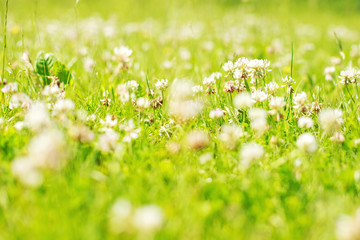 clover. Glade with flowers.  clover background