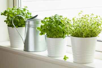 Poster Condiments fresh basi and thymel herb in pot on window, watering can