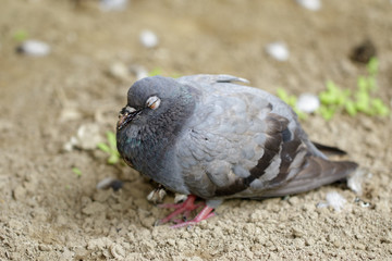 Image of dove standing on the ground. Animal