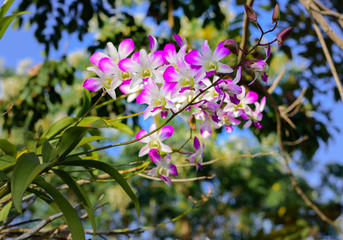 Purple orchids on branch with blurry green leaf in the background, Natural flower concept.