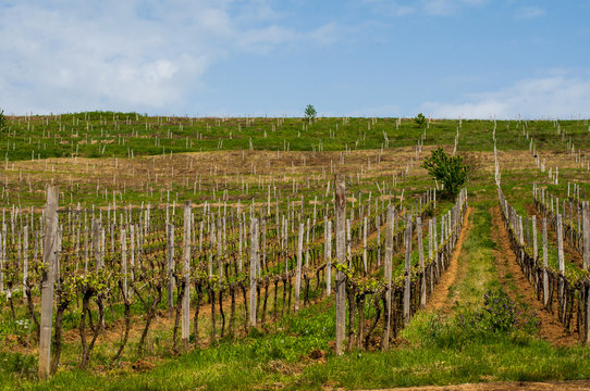 Vineyards in the spring. Preparing for the growth of grapes. Work on the vineyard.
