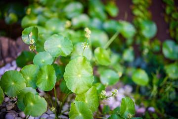 Asiatic herb in small garden