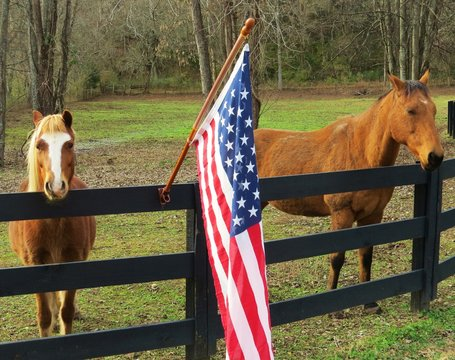 Horses standing beside United States flag