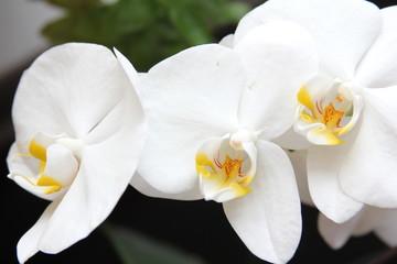 Fototapeta Storczyk, orchidea, orchid, orchis