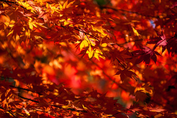 Yellow to red leaves on branch of maple in autumn season.