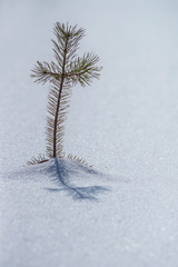Small pine tree in snow landscape