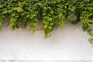 Obraz The green ivy on a stone wall, a beautiful background. Antigua Guatemala - fototapety do salonu