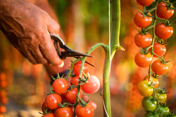 Tomatoes in the garden are cut with scossors in man hand before colections for sales. Vegetable garden with plants of red tomatoes.  Red tomatoes growing on a branch.