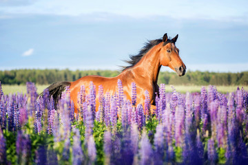 Arabian horse running among lupine flowers.