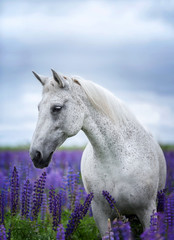 Portait of an Arabian horse among lupine flowers.