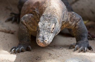 The Komodo dragon Varanus komodoensis close up portrait. Species of lizard found in the Indonesian islands