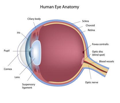 Anatomy of human eye, labeled.