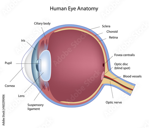 """Anatomy Of Human Eye, Labeled. "" Stock Photo And Royalty"