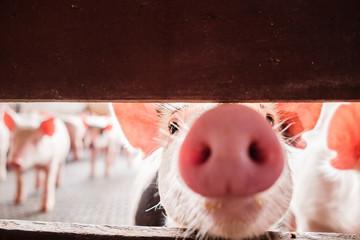A curious pig sniffs a red fence