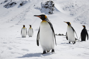 King penguins stand in fresh snow on South Georgia Island