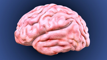3d illustration of human body brain(human organs)
