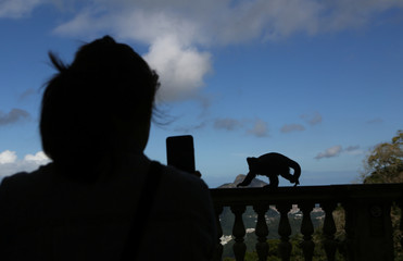 A tourist takes photos of a monkey using her cell phone at the Corcovado mountain in Rio de Janeiro