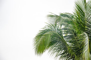 palm trees white background