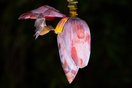 Bat on banana flower