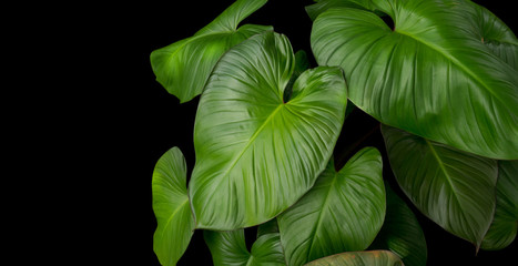 King of Heart Homalomena rubescens (Roxb) green leaves tropical plant on black background