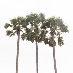 sugar Palm tree isolated