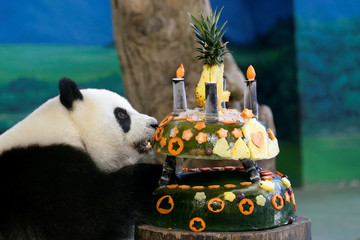 "A giant panda Yuan Zai eats her ""birthday cake"" made from ice and fruits at Taipei Zoo"